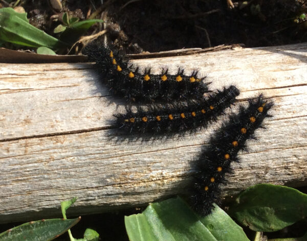 Newly released Checkerspot larvae heading for food (Plantago leaves). Photo: E. McClaren