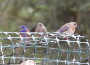 The bluebird pair continued to raise their surviving juveniles, while nesting a second and then a third time (photo: J. Green, GOERTS)