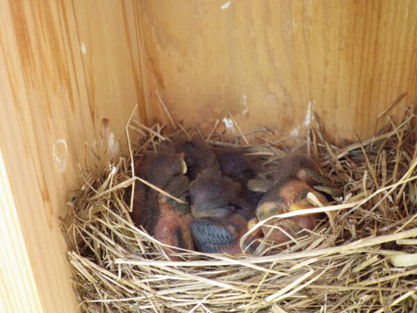 Pictured here at 8 days old, these bluebird nestlings fledged (left the nest) at 18 days old and are now learning to fend for themselves. Photo by Reanna Shelling