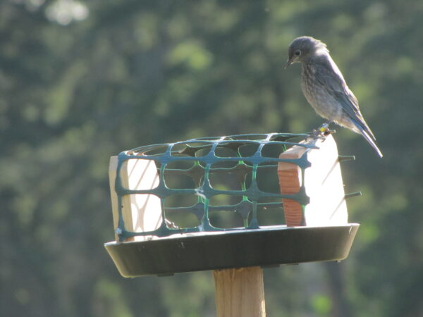 A juvenile bluebird chooses his next meal from a supplemental feeding station (photo: R. Shelling, GOERTS)
