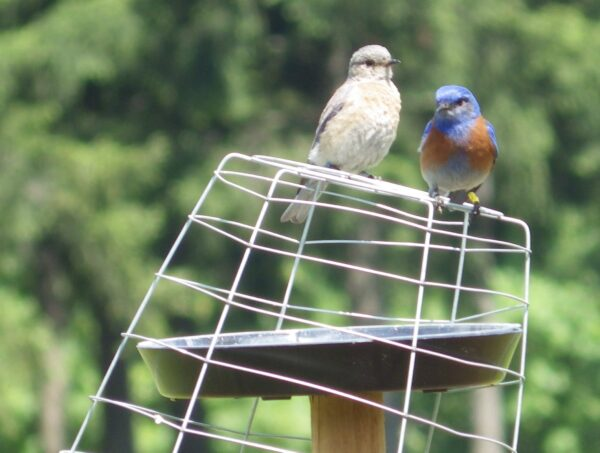This pair raised six offspring in three nest attempts this summer. Sandra helped band the last clutch and fed the family into September. Photo: R. Shelling
