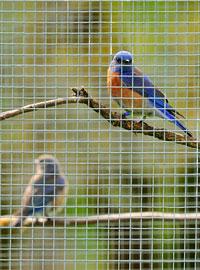 Western Bluebird pair in aviary