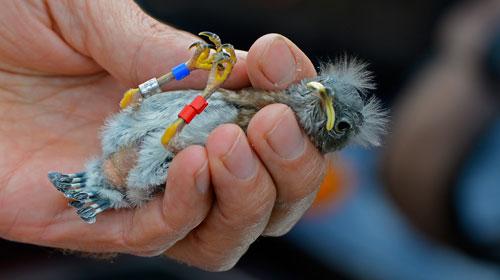 banding a Western Bluebird nestling