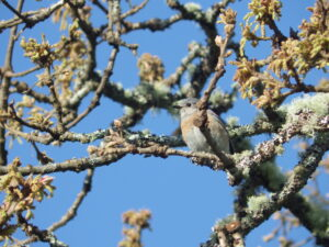 The unpaired female at the Cowichan Garry Oak Preserve, perhaps pondering which mate to choose. Photo: R Shelling, GOERT