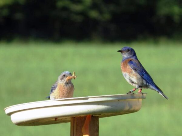 This male bluebird fledged at CGOP in 2012 and returned to nest there this year (photo: J. Daly, GOERTS)