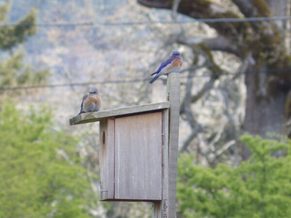 Bluebirds will return to a successful breeding territoriy. This pair returned in 2013 to this nestbox, which they had used in 2012.