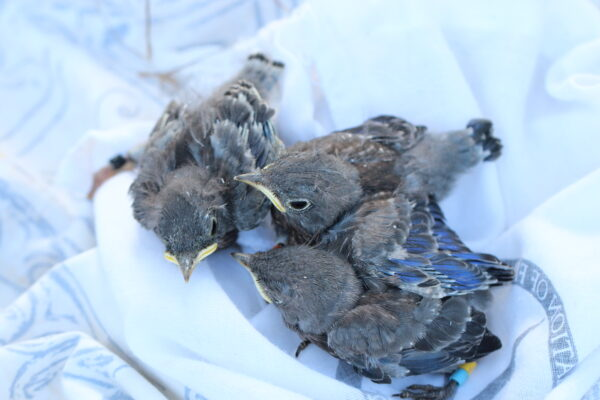 Translocated Bluebird nestlings in May 2016 Photo R. Hetschko