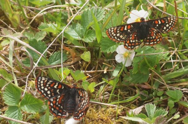 Taylor's Checkerspot Butterflies shortly after release from the Conservation Breeding Facility.