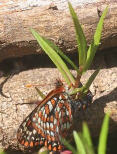Female Checkerspot from the TCCBF laying eggs in the Butterfly Reserve. Photo: A. Fyson