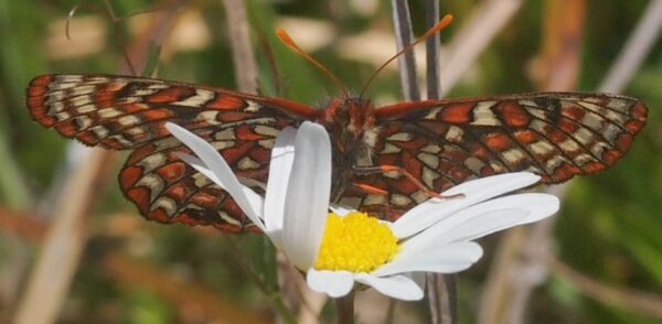 Female Taylor's Checkerspot shortly after release in BC Parks Butterfly Reserve. Photo: A. Fyson
