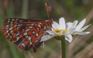 Newly released female Checkerspot seeking nectar. The blue spot on her wing allows researchers to track and identify her. Photo: A. Fyson