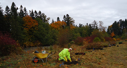 planting oaks at McPhee Meadows