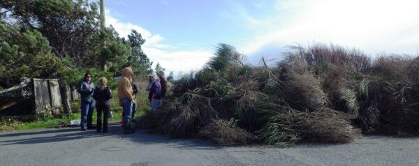 GOERTies and community volunteers removed impressive quantities of Scotch Broom from Harling Point (Oak Bay) in our 2013 work parties (photo: C. Junck, GOERTS)