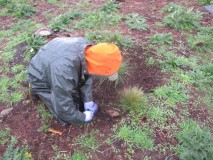 Repeated planting and weeding are required to restore the meadows. Photo: Kristen Miskelly