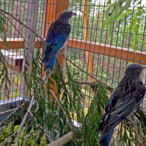 After a month of constant care, these 2 surviving juvenile bluebirds were ready to be released back to their family (photo: Island Wildlife Natural Care Centre)