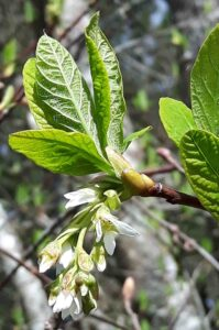 Indian-plum (Oemleria cerasiformis) is the first native shrub to flower in the spring on southern Vancouver Island. Photo by Chris Junck