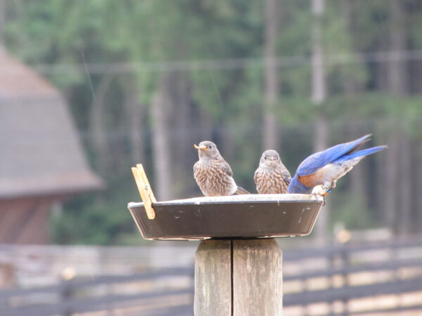 Two juveniles and their father perch in their feeding dish in the late summer rain. Photo: R Shelling, GOERT
