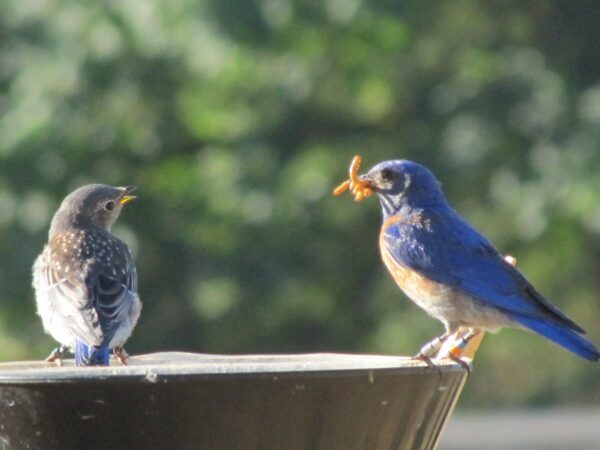 A juvenile looks longingly at its father's bill full of mealworms. Photo: R Shelling, GOERT