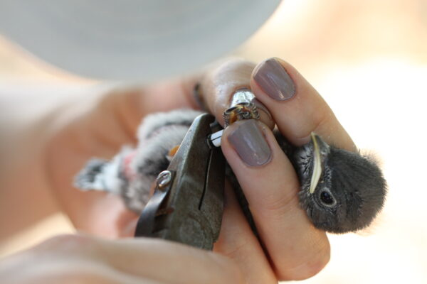 A nestling grumpily accepts its new aluminum band. All of the fledgelings from known bluebird nests are banded for easy identification. Photo: R Hetschko, GOERT