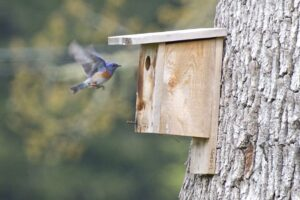 A male Western Bluebird inspects a nestbox in the Cowichan Valley. Photo: Rick Woolley.