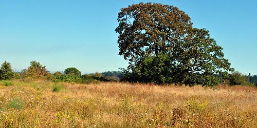 Nanaimo Estuary oak area