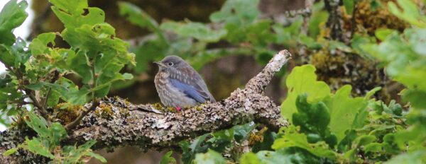 A juvenile hides in the Garry Oak canopy overhanging the nestbox in which recently fledged.