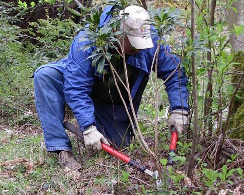 Dave Polster demonstrates cutting invasive daphne below ground (photo by Chris Junck)