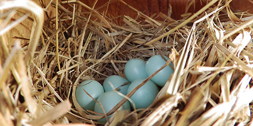 six eggs in a Western Bluebird nest in the Cowichan Valley