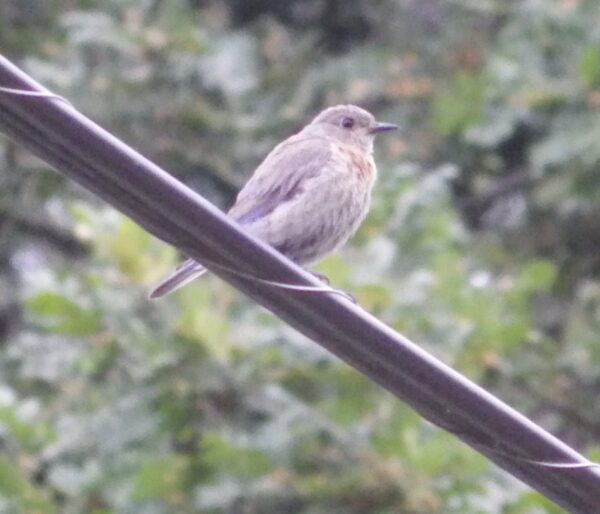 This female bluebird is very pale in colour. In this lighting, and with her wings behind the wire, it is harder to identify her as a bluebird. Photo: J. Green, GOERTS