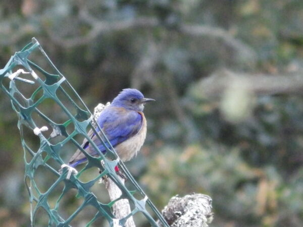 """Her mate is a very bright blue, but his rusty """"vest"""" is not as prominent as on some other male bluebirds. Photo: J. Green, GOERTS"""