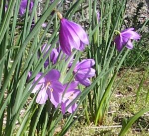 Satin Flowers (Olsynium douglasii) are one of the earliest bloomers in the region. Photo by Chris Junck