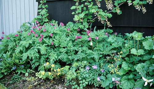 Shade-bed-Dicentra