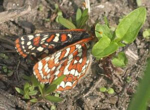 A female TCB carefully selects plants for egg-laying. Photo: A. Fyson