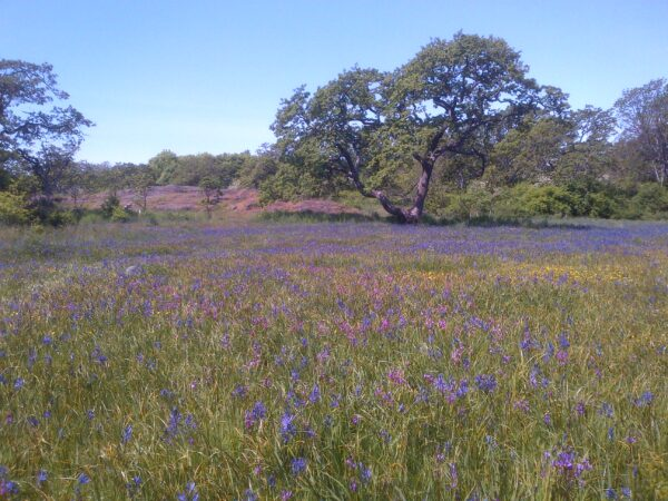 A sea of camas, shooting-stars, and other native plants at Uplands Park (photo: C. Junck, GOERTS)