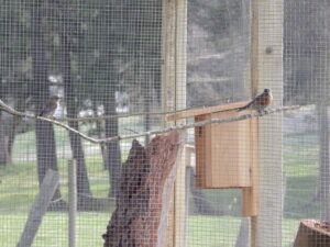 A pair of bluebirds brought up from Washington, at rest in their temporary aviary.