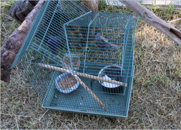 A translocated pair and their three nestlings (in dish) await release into their temporary aviary, where the nestlings will fledge from a nestbox before the are all released together. Photo: R Hetschko/GOERT