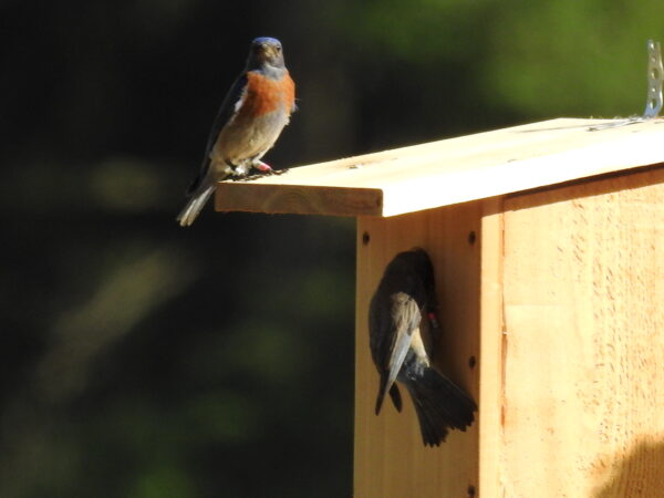 The pair, just released with their fledgelings, inspect a nestbox nearby. Photo: Kurlene Wenburg