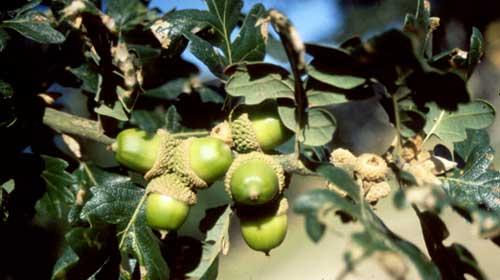 Garry oak acorns (photo by Marilyn Fuchs)