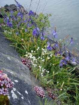 A peek into the future: a pocket of spring flowers inaccessible to the deer and geese on Eagle Island (camas-stonecrop-chickweed)
