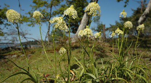 Toxic meadow death-camas, <i>(Zygadenus venenosus)</i> the only meadow plant not grazed to the ground
