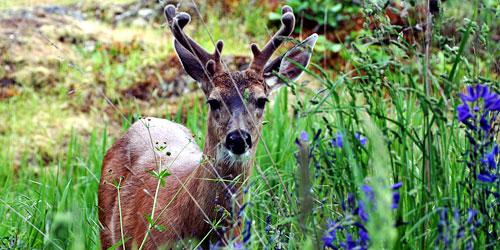 deer in velvet on Mt. Tolmie