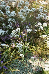 Fool's Onion adds a lovely spray of white flowers to enhance any garden.