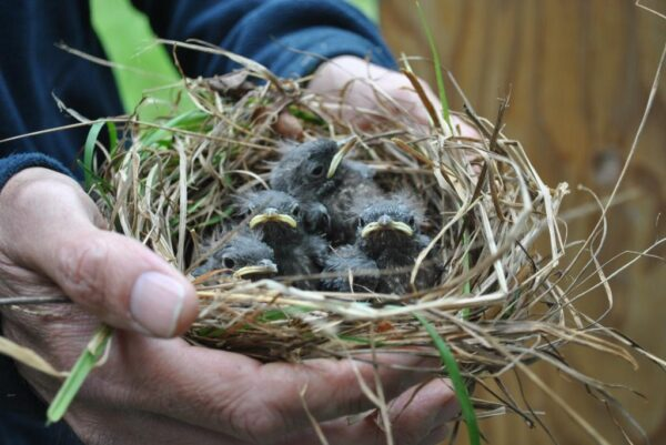 Bluebird nestlings arrive in their new home, the Cowichan Valley. Photo by Trudy Chatwin