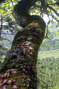 Garry oak with stonecrop