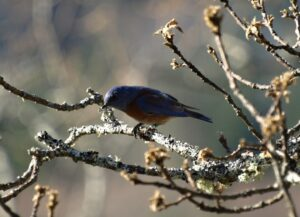 A male Western Bluebird forages inside the Mt Tzuhalem Ecological Reserve in January 2015, when a local hiker stumbled upon a flock of 8-14 Western Bluebirds. Photo: T Wiley