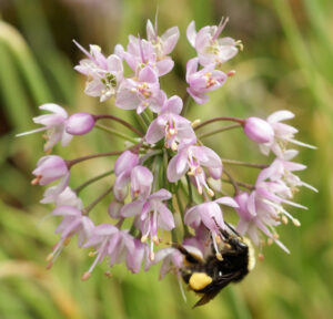 Native plants benefit bees and vice versa. Photo: Louise Goulet
