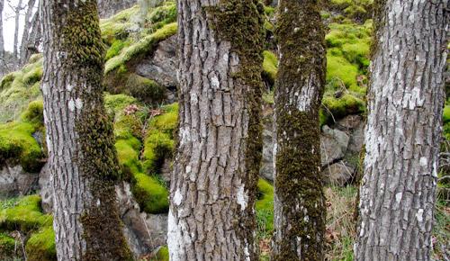 Garry oak trunks