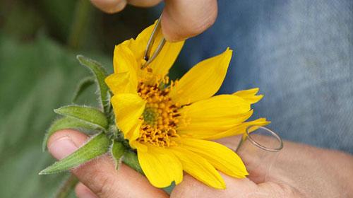 transferring pollen