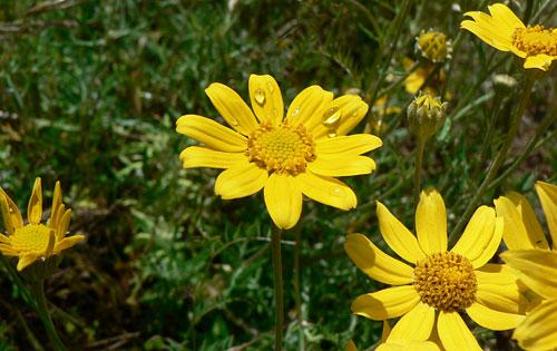 woolly sunflower (photo by Moralea Milne)